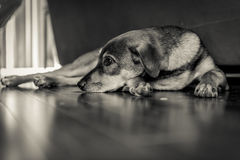 Sad Dog Laying on Floor Stock Photography