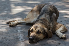 Sad dog laying on a street of Palermo, Sicily Stock Image