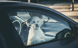 Sad dog left in car. Cute toy poodle waiting for the owner at car window Royalty Free Stock Image