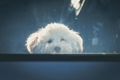 Sad dog left in car. Cute toy poodle waiting for the owner at car window Stock Photos