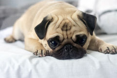 Sad dog. Sad little dog waiting for his hosts and misses stock photography