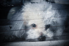 Sad dog locked inside car. A white poodle locked inside a car, looking trough the window Stock Images