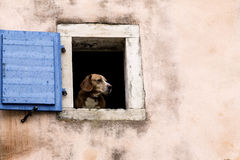 Sad dog. Dog looking through the window Royalty Free Stock Images