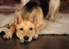Sad dog lying. On the floor Royalty Free Stock Image