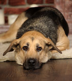 Sad dog lying. On the floor Royalty Free Stock Photo