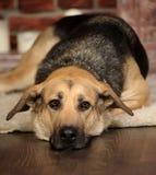 Sad dog lying Royalty Free Stock Photo
