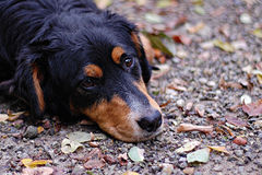 Sad dog lying down. Lonely and sad dog lying on the ground Royalty Free Stock Photography
