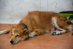 The Sad dog lying down. Sad dog lying down and look for someting Royalty Free Stock Images