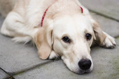 Sad dog lying on the ground Royalty Free Stock Photos