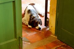 Sad dog lying on ground and looking through doorway. A brown-and-white dog is lying on a tiled floor on one side of a doorway, looking up at the camera. The dog Stock Photography