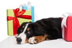 Sad dog lying near present boxes Stock Images