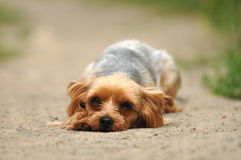 Sad dog lying on the road Stock Photos