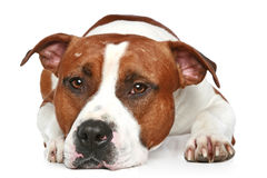 Sad dog lying on a white background Royalty Free Stock Photography