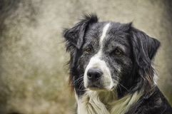 Sad dog. A sad old border collie Stock Image