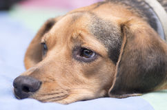 Sad dog. Portrait of a sad dog muzzle lying Royalty Free Stock Photo