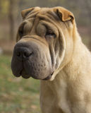 Sad Dog Portrait - Shar pei Stock Photos