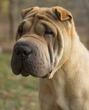 Sad Dog Portrait - Shar pei. Shar-Pei sad dog portrait stock photos