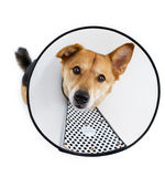 Sad dog with protective hood Royalty Free Stock Photo