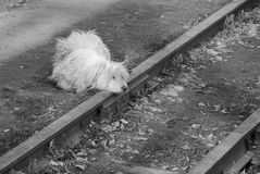 Sad dog on railway tracks. White sad dog with hrad on railway tracks waiting Royalty Free Stock Image