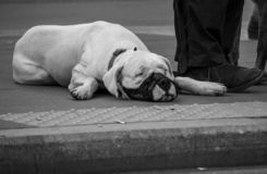 Sad dog in rome, tired and hot black and white