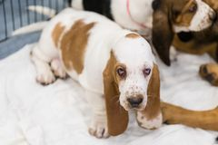 Sad dog on the show. Pedigreed dog with sad eyes at the dog show. In eyes in sight discontent Royalty Free Stock Image