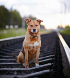 The sad dog sits on rails. Royalty Free Stock Photo