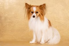 Sad dog sitting on a gold background
