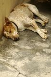 Sad Dog Sleeping. Sad looking rescued stray dog. Be kind to all animals Royalty Free Stock Image