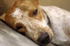 Sad Dog Sleeping. Sad looking rescued stray dog. Be kind to all animals Stock Photo