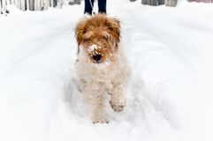 Sad dog sneaks in a snow drift in search of the road. Anomalous snowfall in the winter. Copy space Royalty Free Stock Image