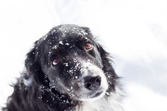 Sad dog in snow. A sad balck and white dog in the snow looks up at the camera Stock Photography