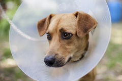 Sad dog suffering. Closeup with sad dog suffering in cone Stock Photos