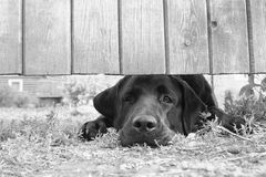Sad dog under the fence. Cute sad dog under the fence (in B&W Royalty Free Stock Images