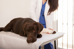 Sad dog at the veterinarian Stock Images
