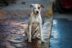 Sad dog waiting. And staring Royalty Free Stock Photos