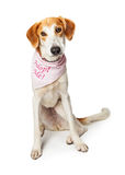 Sad Dog Wearing Adopt Me Bandana Stock Photos