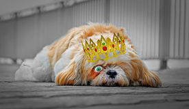 Sad dog wearing golden crown. Concept photo of a sad dog with one eye open wearing a golden crown Stock Images