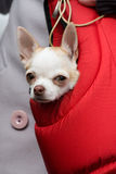 Sad doggie. Sad doggy looks out from a female handbag Royalty Free Stock Images
