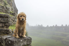 Sad doggy in Machu Picchu. The little wet doggy is sad due to the weather in Machu Picchu Royalty Free Stock Photos
