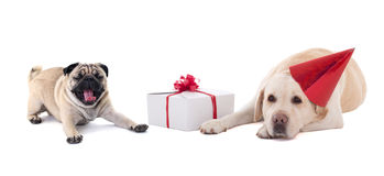 Sad dogs (golden retriever and pug dog) with gift box isolated o Royalty Free Stock Photography