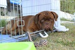 Sad Dogue de Bordeaux Foto de archivo