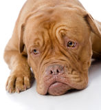 Sad Dogue de Bordeaux en frente. Imagenes de archivo