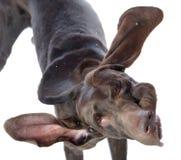 Sad Dogue de Bordeaux in front. Royalty Free Stock Photos