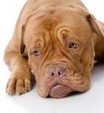 Sad Dogue de Bordeaux in front. Stock Images