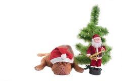 Sad dogue de borgeaux waiting for Santa Royalty Free Stock Image