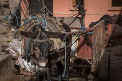 Sad donkey in a Marrakech tannery. Sad, droopy donkey in a Marrakech tannery. Pack animal with a cart. Summertime royalty free stock image