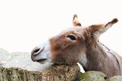 Sad donkey on the rocks on white. Stock Photos