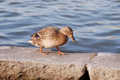 Sad duck. A lonely female duck on parapet at sunny spring evening Royalty Free Stock Photography