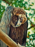 Sad eagle. Eagle with a bowed head is sitting on a perch. Summer in Ukrainian zoo Royalty Free Stock Photography