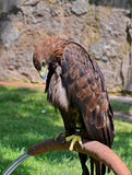 Sad Eagle in captivity Stock Images